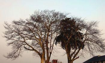 1501 冬の木2013.jpg