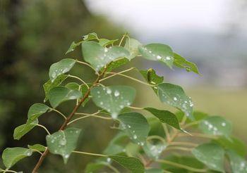 455 雨のしずく.jpg