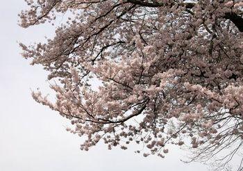 4629 桜201604-8.jpg
