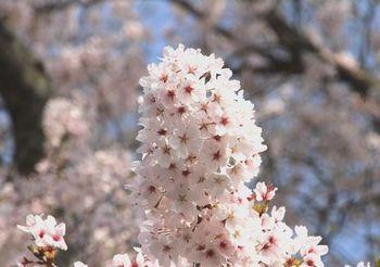 5845 桜201704-12.jpg