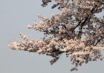 5846 桜201704-11.jpg