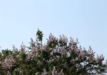 5972 桐の花2017-100.jpg