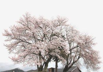 4623 桜201604-3.jpg