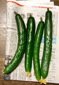 7300-3 キュウリ20180626.JPG