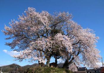 8207 桜201904-21.jpg