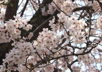 8212 桜201904-13.JPG